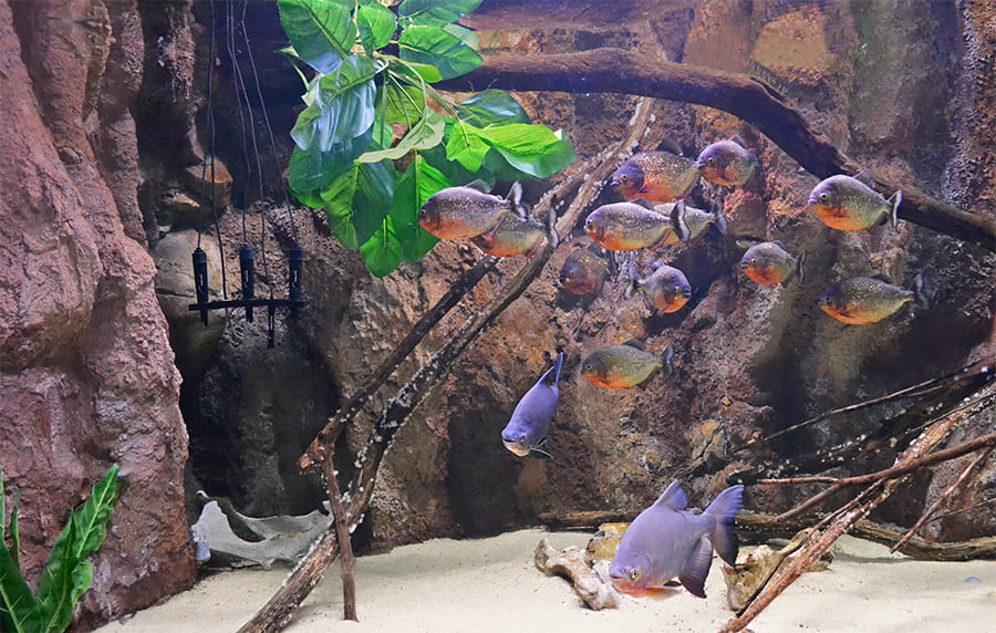 The freshwater aquarium is home to more than 20 piranhas