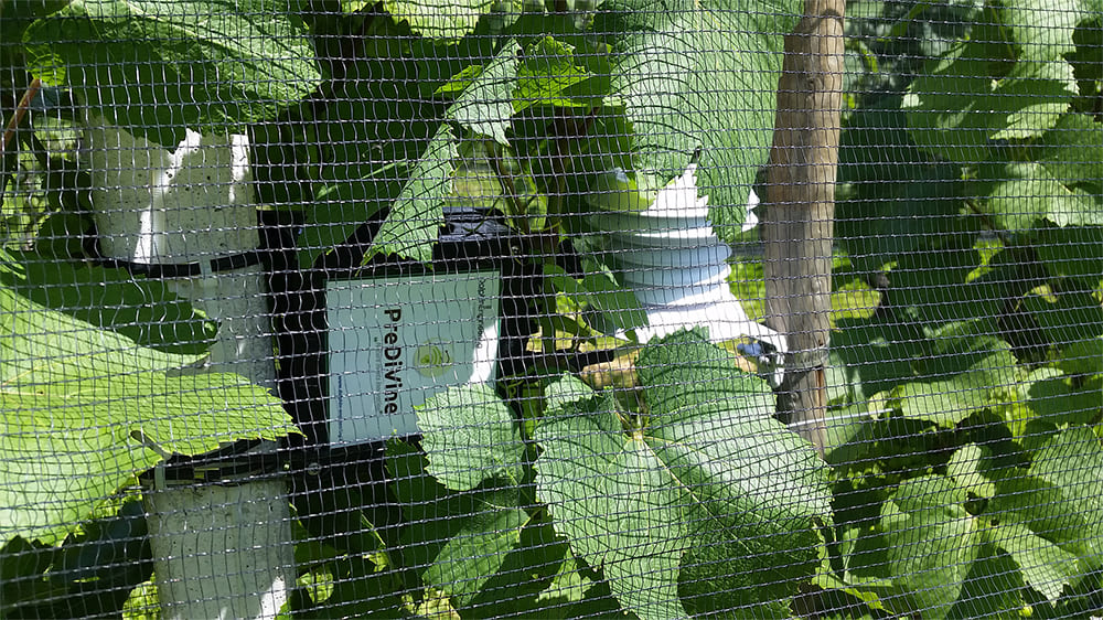 PreDiVine installed in grapevines