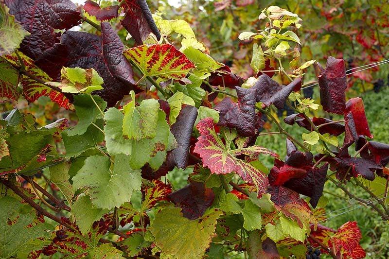 Diseased grapevine