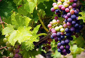 Precision Agriculture: Predicting Vineyard Conditions, Preventing Disease