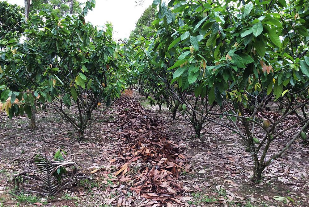 Cocoa field trial site