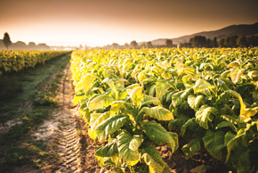 Increasing tobacco crops quality by climatic conditions control
