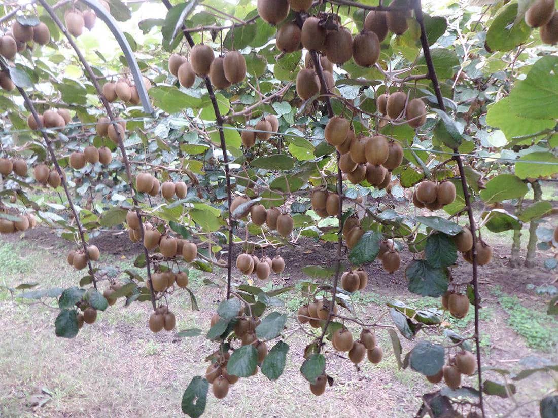 Kiwi crops in Emilia Romagna