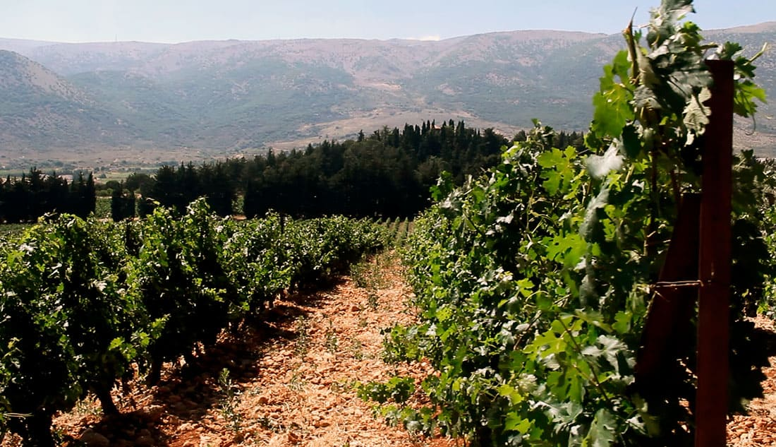 Château Kefraya vineyards at Beqaa Valley, Lebanon