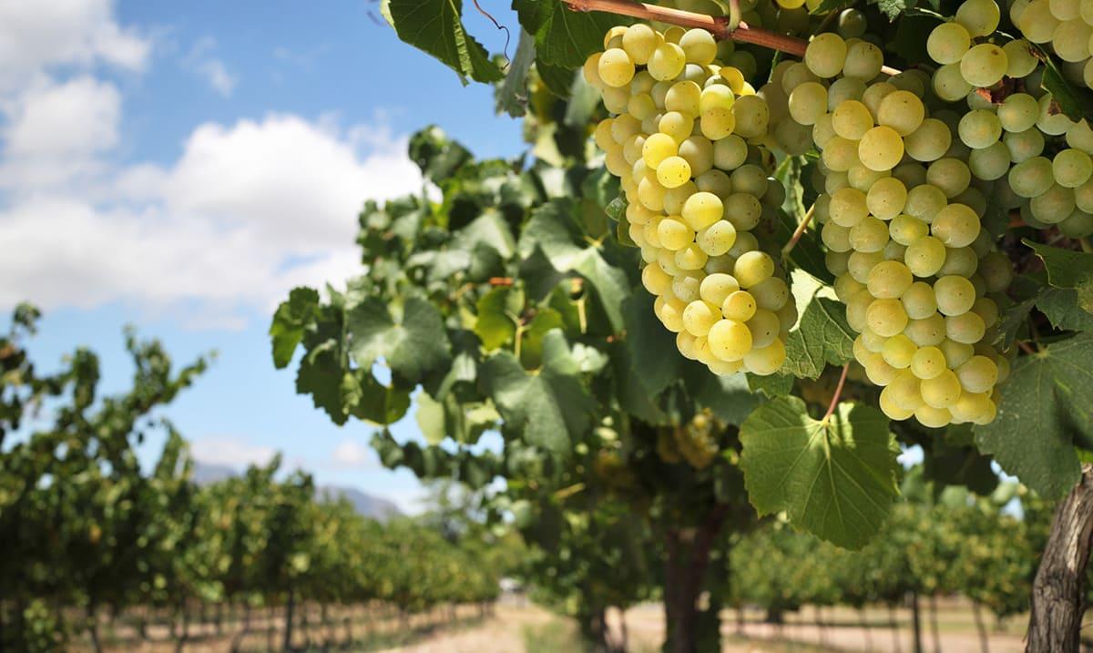 Smart Vineyard in Lebanon Success Stories Libelium